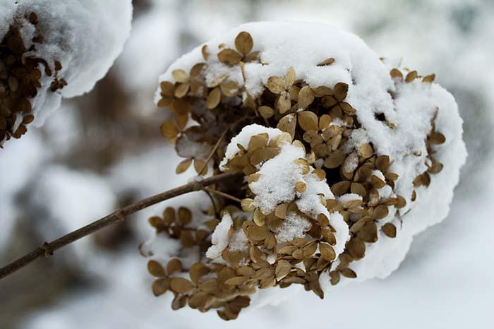 winterhydrangea